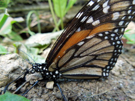 Macro image of one Monarch Butterfly on the ground with some leaves surrounding and its wings up. Stock Photo