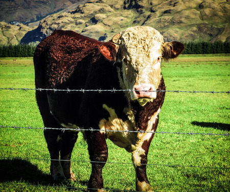 Hereford Cow in a grassy field with a fence in the foreground and mountains in the background. Taken on a clear day in winter. Stock Photo