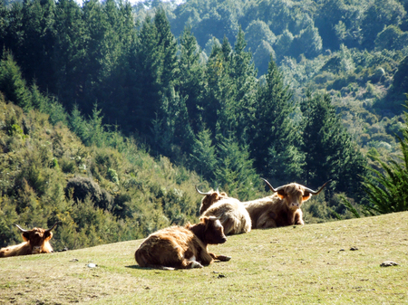 Several Highland cattle resting on a hill with hills and pine forest in the background.