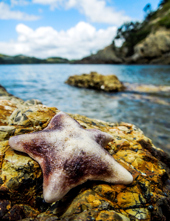 Pink and Purple Common Cushion Starfish, on a rock with blue ocean and rocky islands in the background. Taken on Waiheke Island, New Zealand on a sunny day. Stock Photo