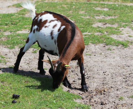 highlander: Cabra pigmea