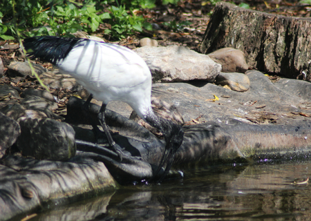 high metabolic rate: African sacred ibis Stock Photo
