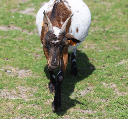 pygmy goat: Pygmy goat close