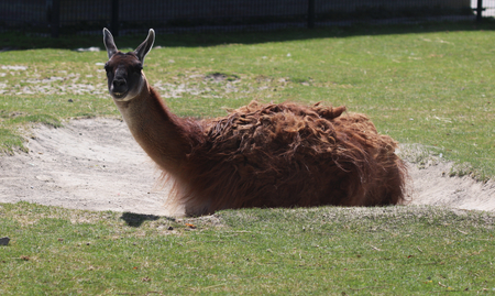 Lama resting on the ground