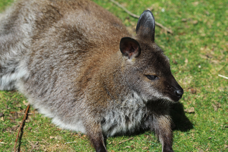 Red necked Wallaby resting