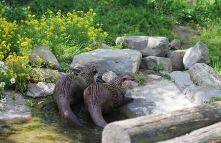 Asian Small clawed Otter (Aonyx cinerea)
