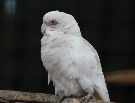 Tanimbar corella on branch