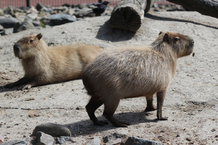 webbed: Two Capibara standing