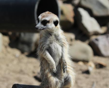 Meerkat standing alert Stock Photo