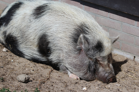 potbellied: Pot-bellied pig (Sus scrofa domesticus)