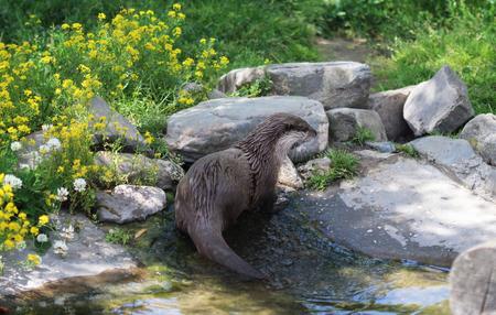 aonyx: Asian Small clawed Otter (Aonyx cinerea)