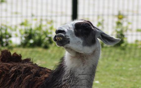 tierra: Funny looking lama