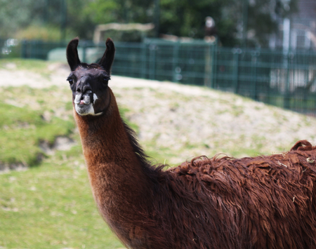 Lama in zoo Stock Photo