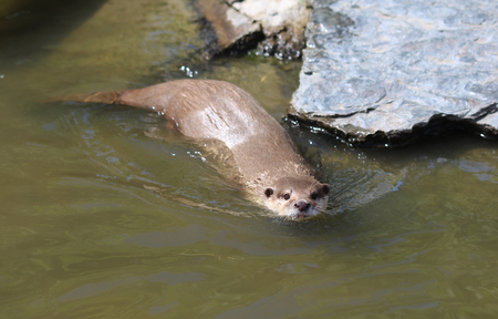 small clawed: Asian otter swimming Stock Photo