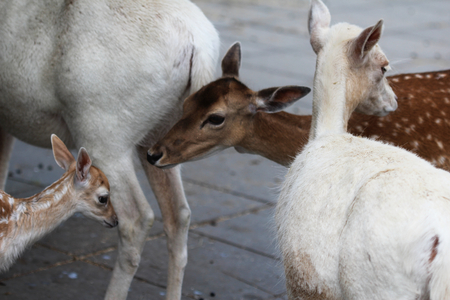 youngs: Fallow deer with youngs