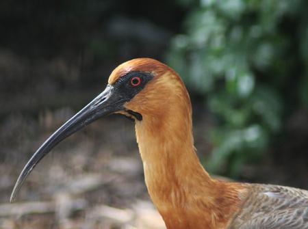 Closeup of black faced ibis Stock Photo