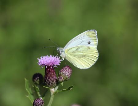 pieris: Small white (pieris rapae)