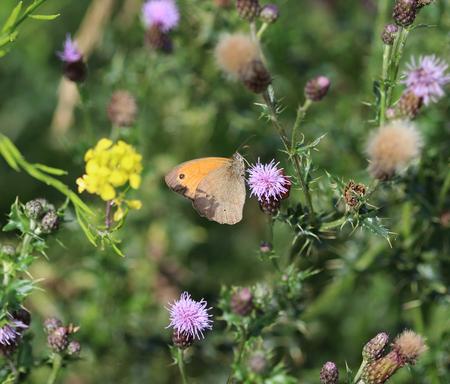 basking: Pyronia tithonus