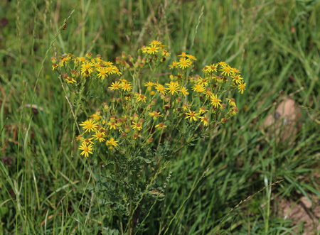 Jacobaea erucifolia Stock Photo