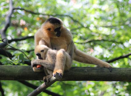 northern white cheeked gibbon (Nomascus leucogenys) resting in tree