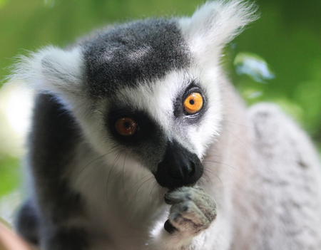 ring tailed lemur monkey (Lemur catta) head