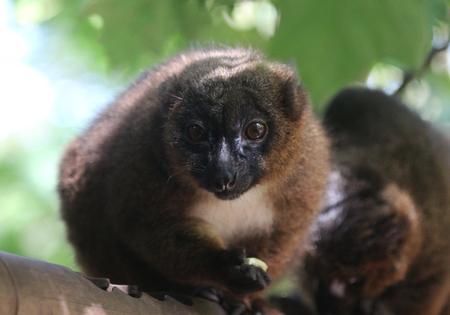 red bellied lemur (Eulemur rubriventer) Stock Photo