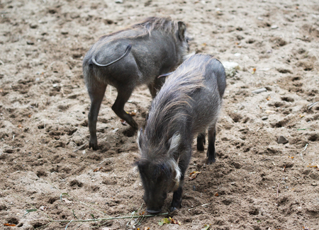 common warthog (Phacochoerus africanus) on savanna