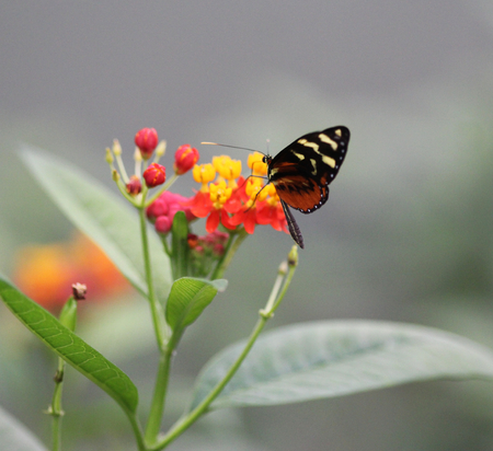 Close up macro or tiger longwing butterfly (Heliconius hecale) on flower