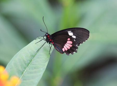 Close up macro common postman butterfly (Heliconius melpomene) on flower
