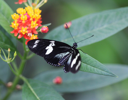 Close up macro Sara longwing butterfly (Heliconius sara) on flower Stock Photo