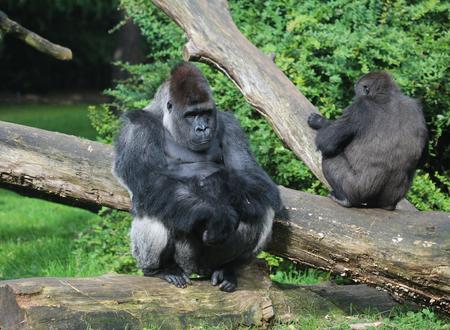 Group western lowland gorilla (Gorilla gorilla gorilla)