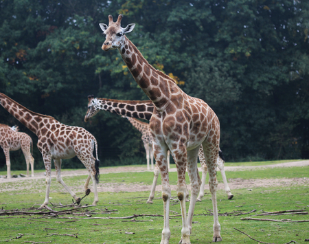 Rothschilds giraffe (Giraffa camelopardalis rothschildi) Stock Photo