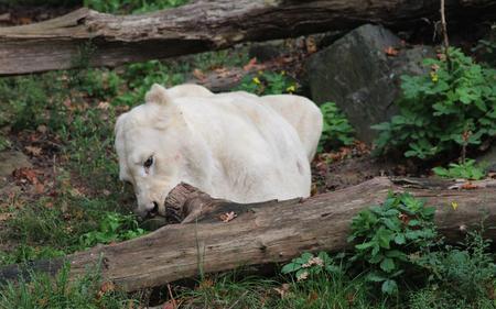 White african lion (Panthera leo)