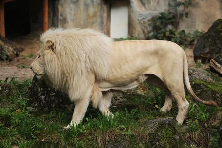 White male african lion (Panthera leo) Stock Photo