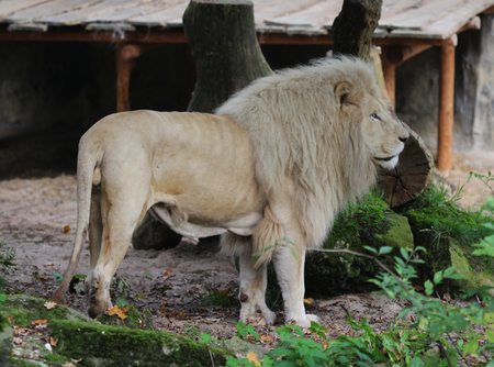 White african lion (Panthera leo)