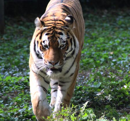 Siberian tiger (Panthera tigris tigris)