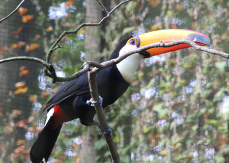 toco toucan (Ramphastos toco) in tree