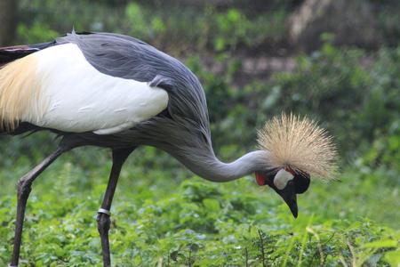 gray crowned crane (Balearica regulorum)