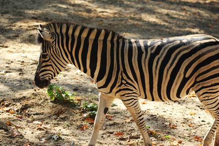 Chapmans zebra (Equus quagga chapmani) Stock Photo