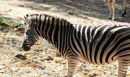 Chapman's zebra (Equus quagga chapmani) Stock fotó