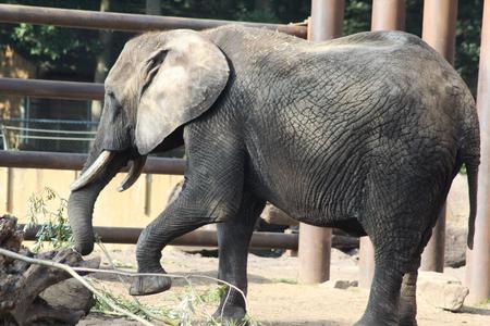 African bush elephant (Loxodonta africana) in zoo