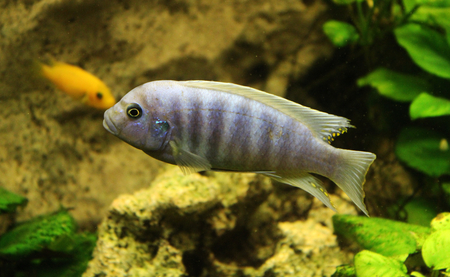 cichlids malawi aquarium