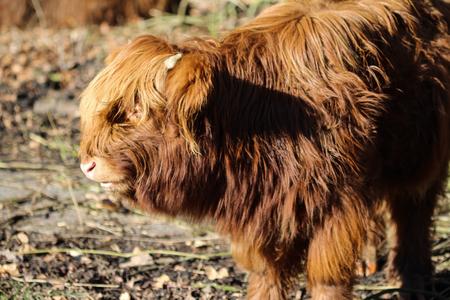 Highland cattle in forerst Archivio Fotografico