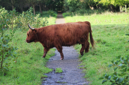 Highland cattle in forerst Stock Photo