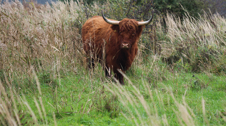 Highland cattle on grass land Stock Photo