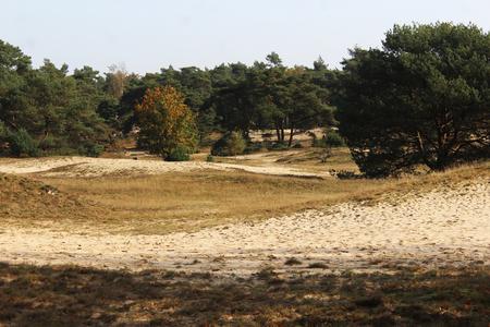 Heather landscape in autumn, Utrechse Heuvelrug in the Netherlands