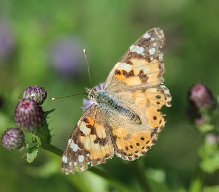 close up of painted lady butterfly on flower