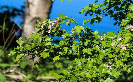 close up of pink flower of midland hawthorn, English hawthorn (Crataegus laevigata) blooming in spring