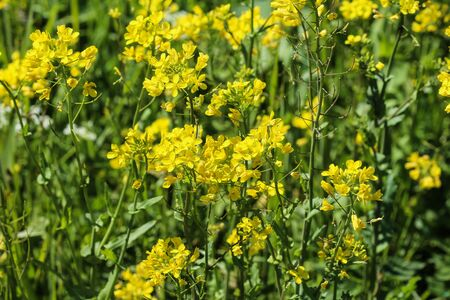 close up of bittercress, herb barbara, yellow rocketcress or winter rocket (Barbarea vulgaris) blooming in spring Imagens