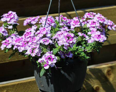 close up of verbena wicked purple flowers or Sea heart (garden verbena)